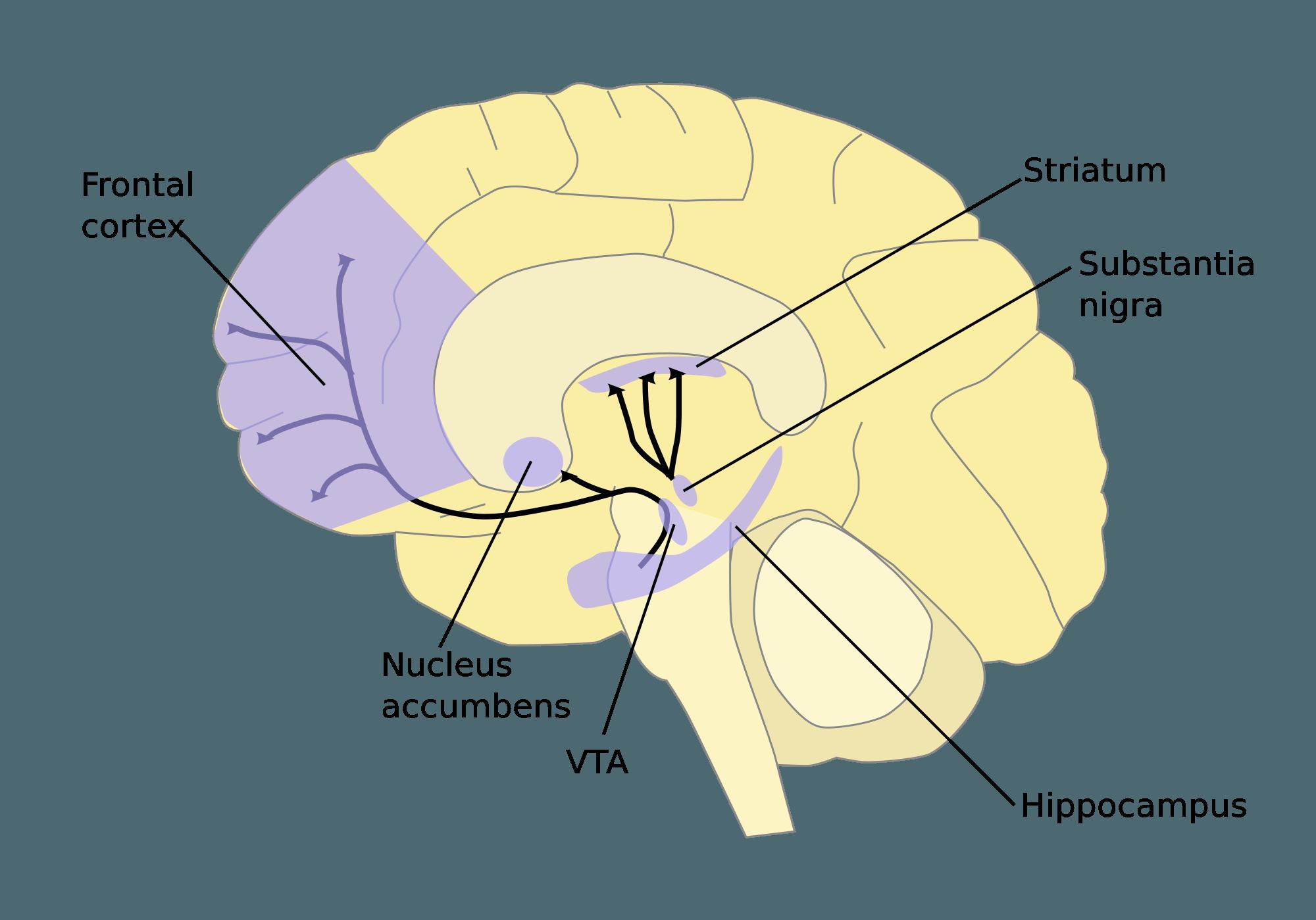 Dopamine Pathways